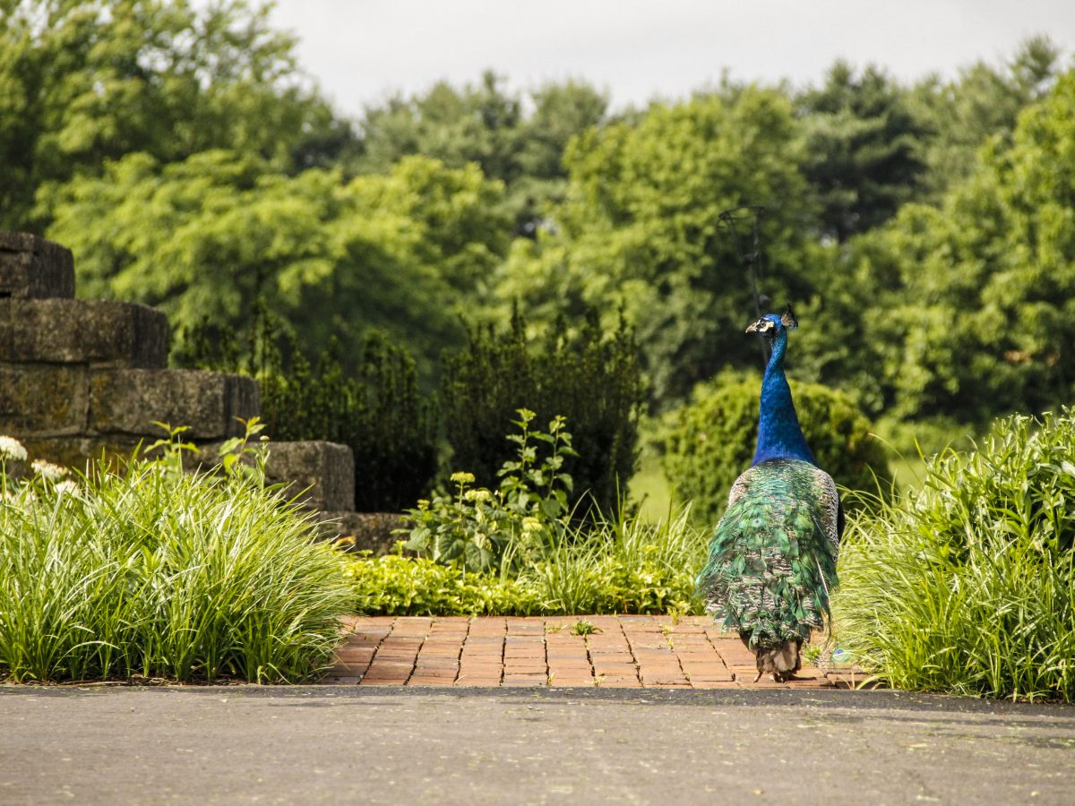 Lux Row peacock